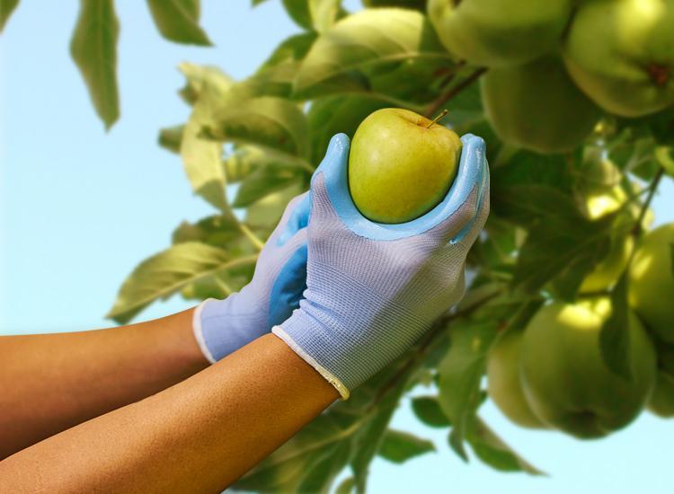 Gants pour la recolte de fruits