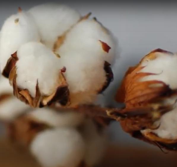 ALGODÓN ORGÁNICO cultivado sin fertilizantes, sin pesticidas